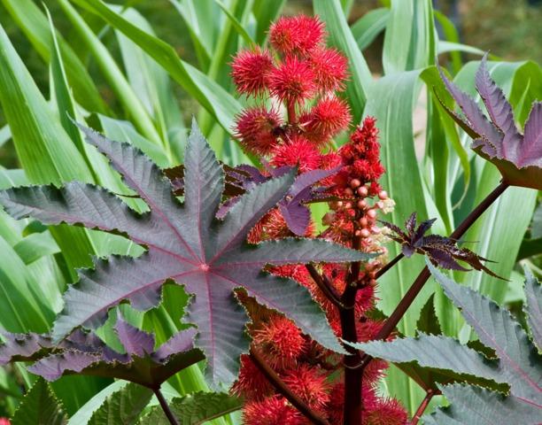 Arbre ricin fruit feuille